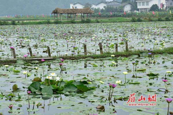 图片 视觉眉山  1 / 4 当天在圣地莲花基地拍摄的香水睡莲花.